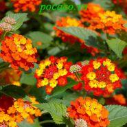 Chữa bệnh viêm xoang bằng hoa ngũ sắc- Bài thuốc hiệu quả điều trị xoang