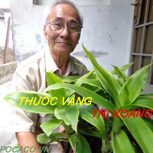 Cây lược vàng chữa bệnh viêm xoang- Bài thuốc vàng trị viêm xoang