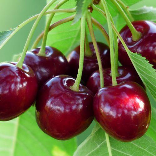 Chữa bệnh gout bằng trái anh đào – 'KẺ ĐÁNH BẠI' mạnh axit uric